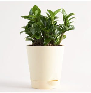 ZZ 'Zenzi' Dwarf Plant With Self Watering Pot - Medium