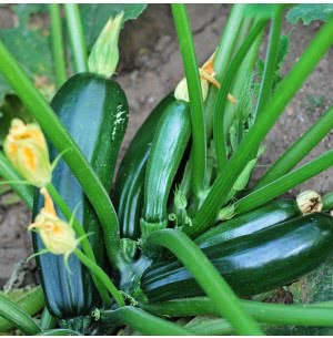 Hybrid Squash Vegetable Seeds (Zuchinni)-Sunny House - 10 g