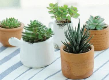 Top 10 Miniature (Dwarf) Plants in India