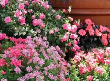 TOP 10 FLOWERING ANNUALS FOR MONSOON