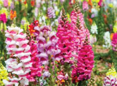 15 WINTER FLOWERS FOR INDIAN GARDENS: ANNUALS