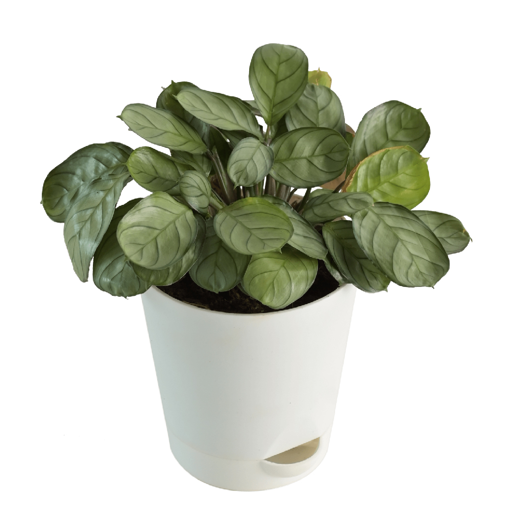 Calathea Burle Marx Prayer Plant Buy Calathea Burle Marx Prayer Plant Online At Best Price In India Ugaoo Com