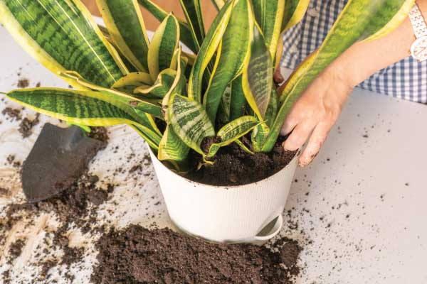 Plants growing in containers need more fertilizing than those in the ground. The more you water, the more quickly you flush the nutrients out of the soil.