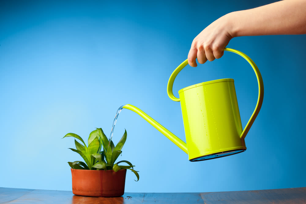 watering indoor plant using watering can