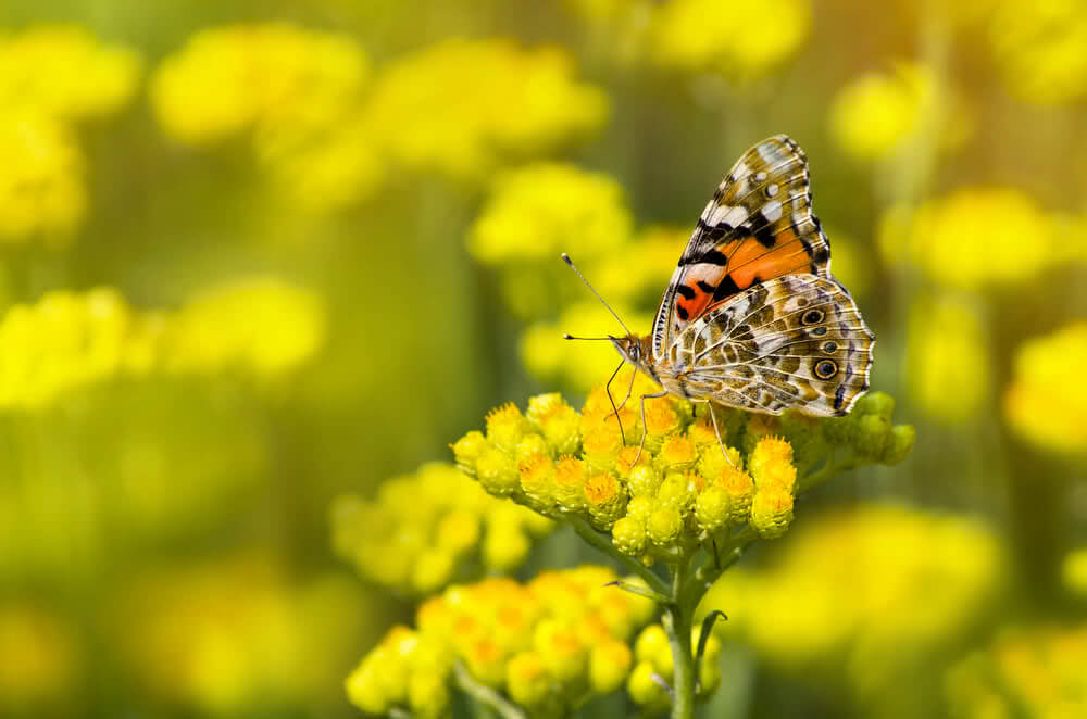 Painted Lady butterfly (Vanessa cardui) on a flowering immortelleHelichrysum