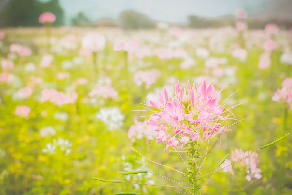 cleome flower, spider weeds, bee plant