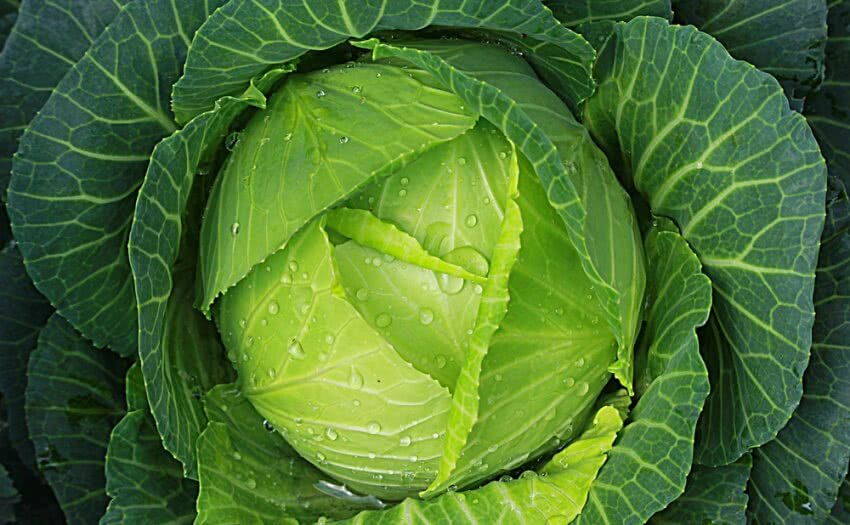 Cabbage, cabbage vegetable
