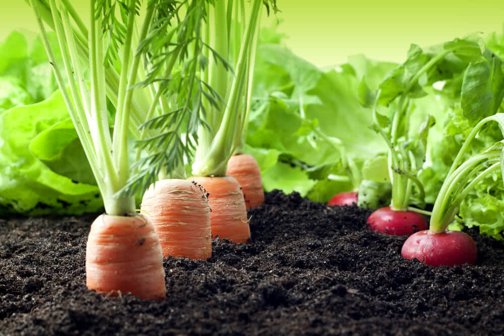 How To Grow Carrots Harvesting Varieties Benefits of Carrot Plant