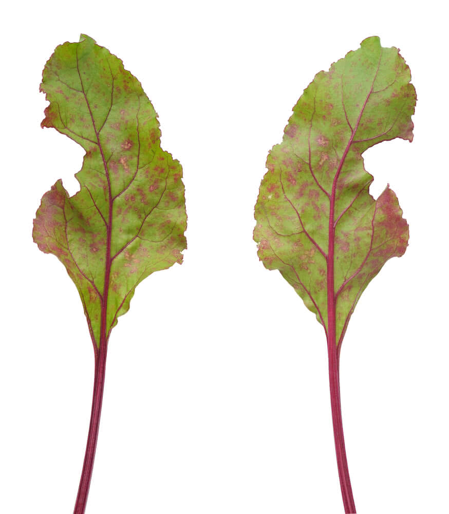 beetroot leaves, beet vulgaris
