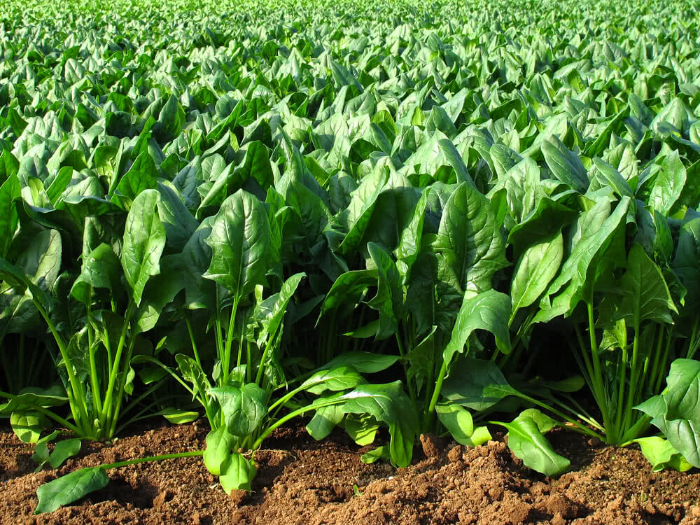 how to grow spinach, spinach vegetable