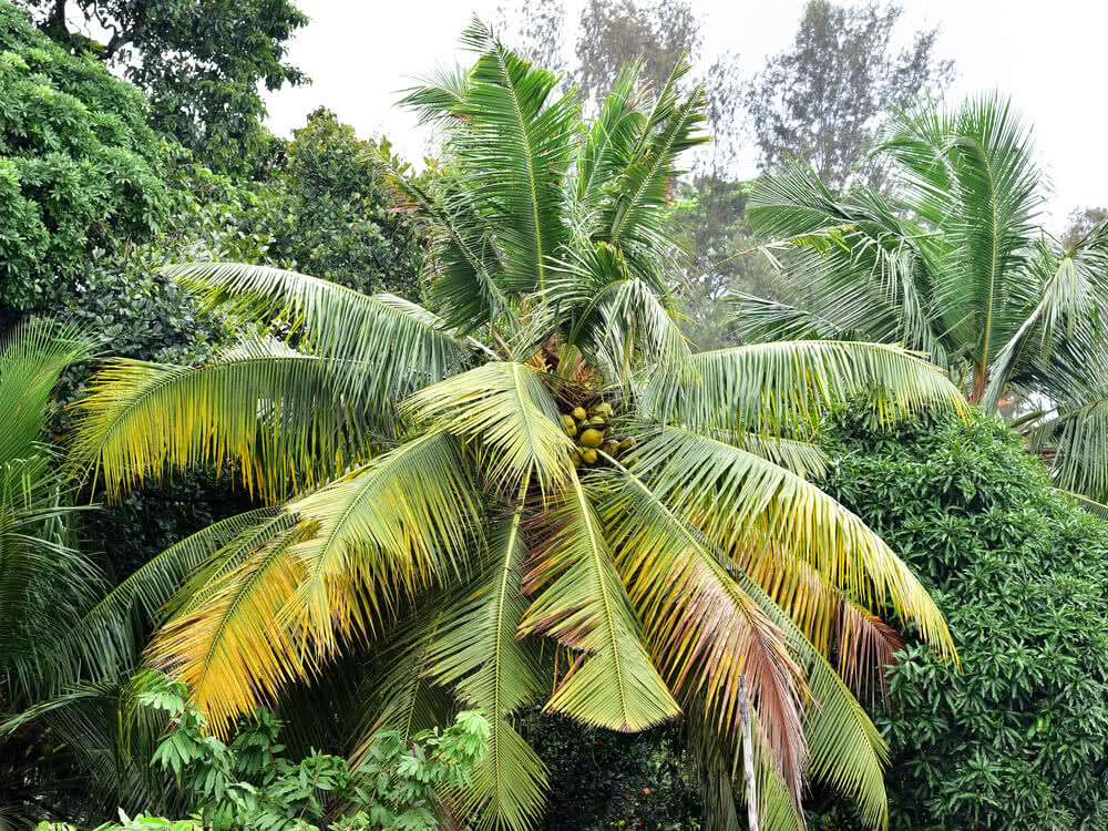 coconut diseases, coconut tree protection