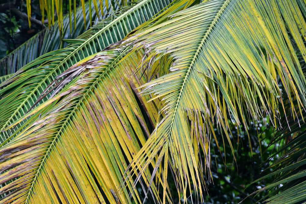 coconut leaf, diseases of coconut