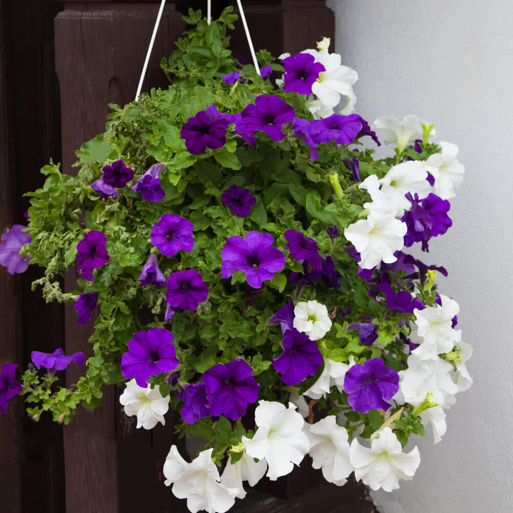 Top 10 plants for balcony in india - Hanging baskets for balcony ...