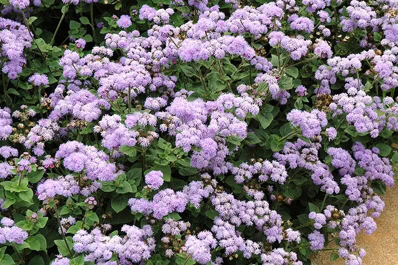 Ageratum annual flowering plant