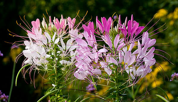 Cleome annual flowering plant