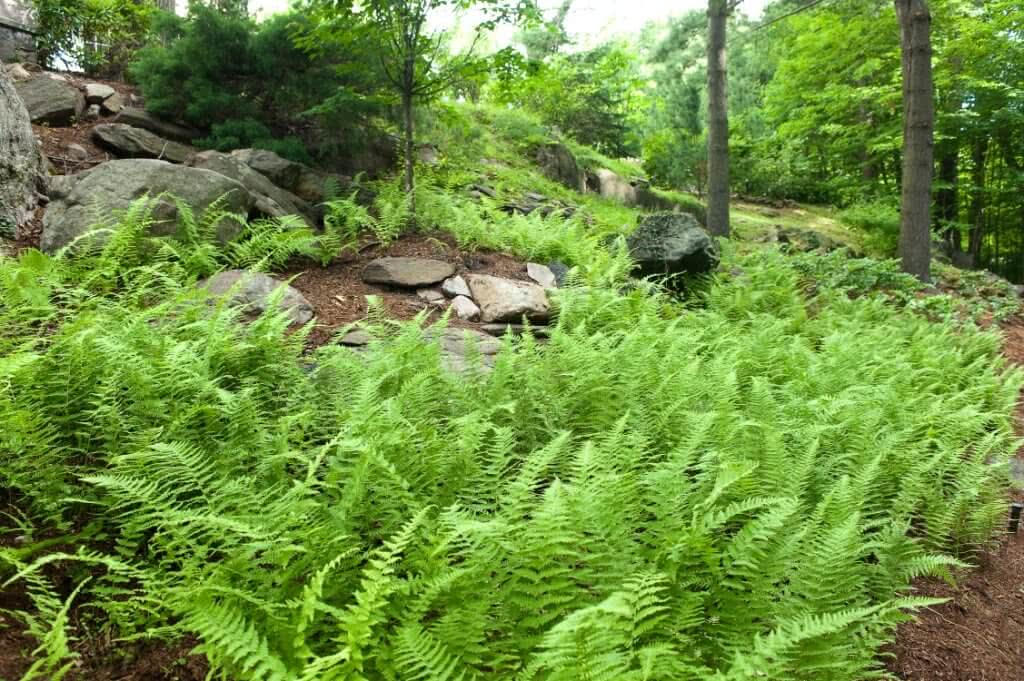 Growing Ferns The Most Versatile Garden Plants