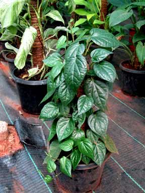 indoor climbing plants
