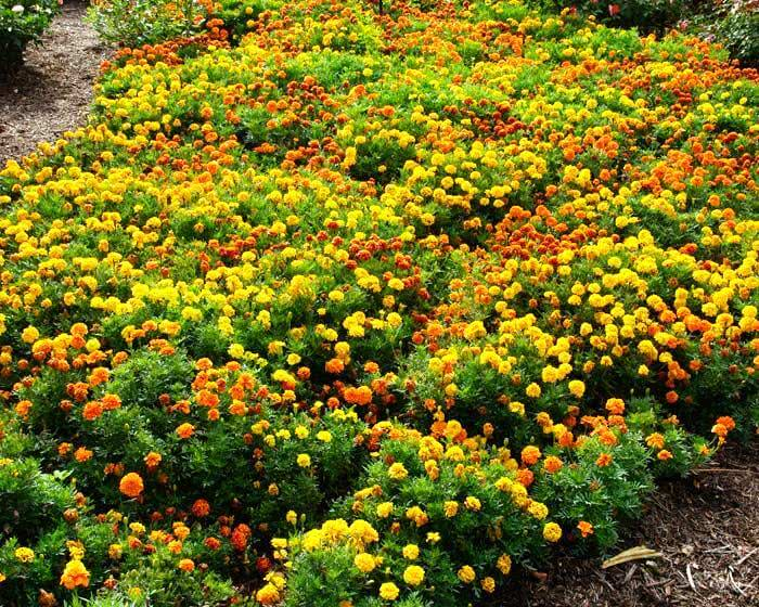 Marigold- Monsoon Flower