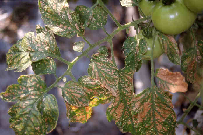 Plant pests- Thrips