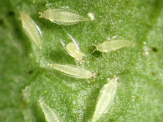 common pests- thrips
