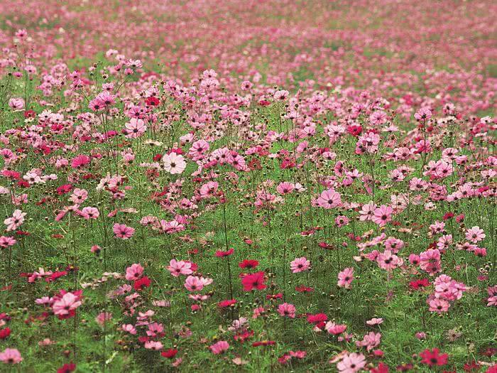 Cosmos monsoon flower
