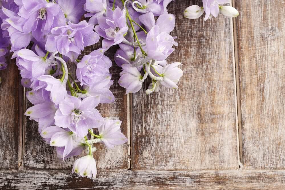 how to grow larkspur from seed