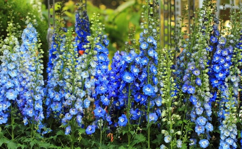 Growing Larkspur