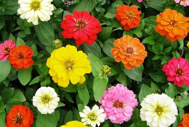zinnia monsoon flowering plant