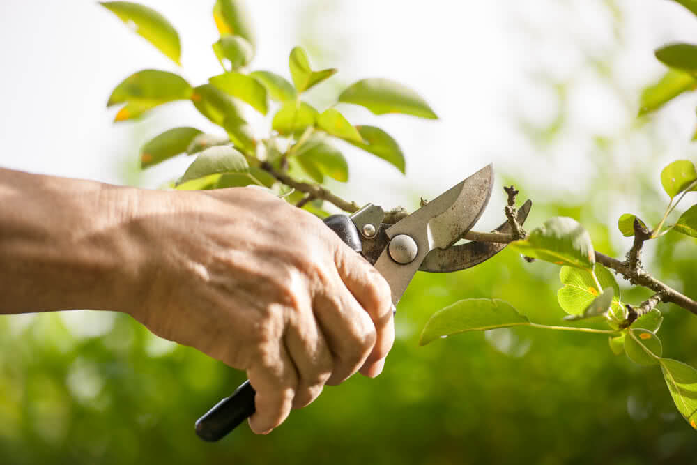 pruning plant with secateur