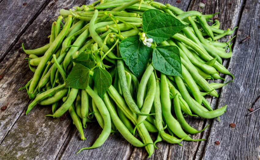 Growing french beans