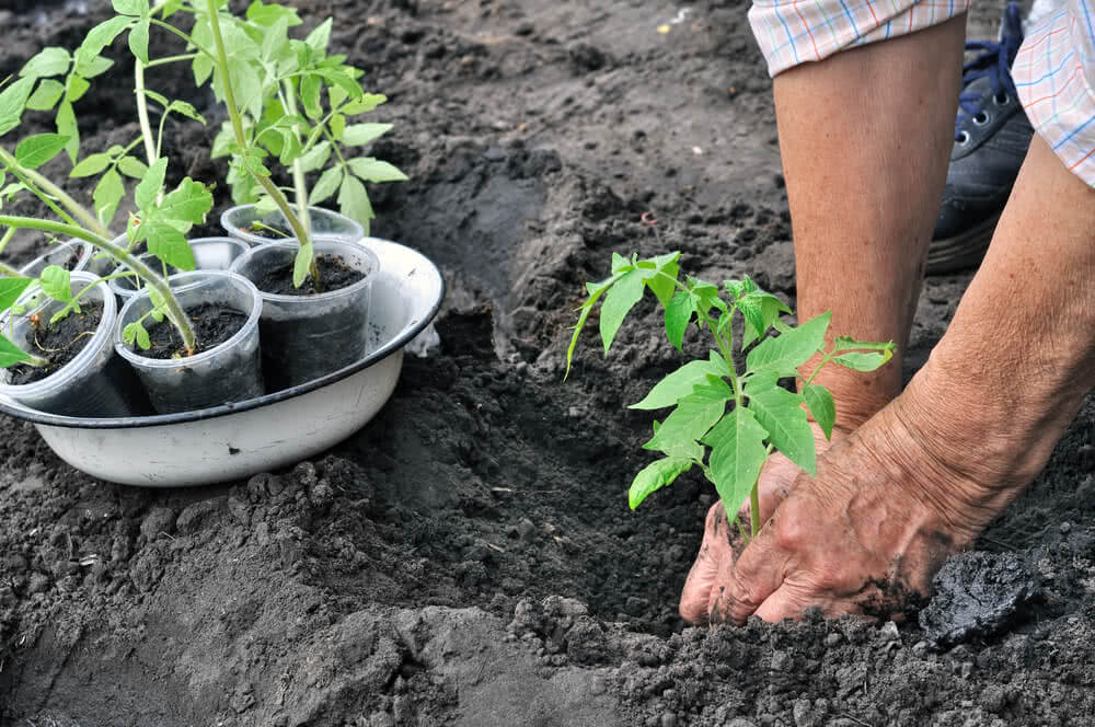 woman planting a tomato seedling