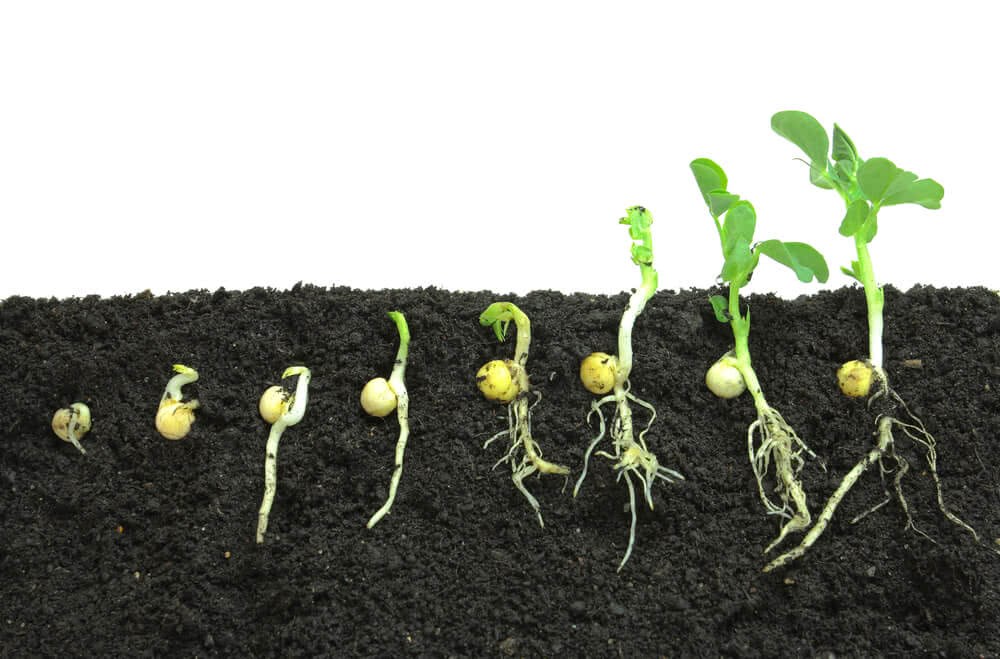 growth stages of pea seeds