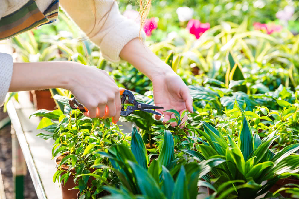 woman gardener trimming plants with pruning shears in garden center