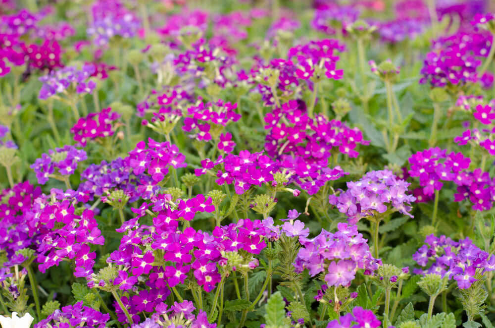 Winter Flowers In India Winter Flowers Name And Images