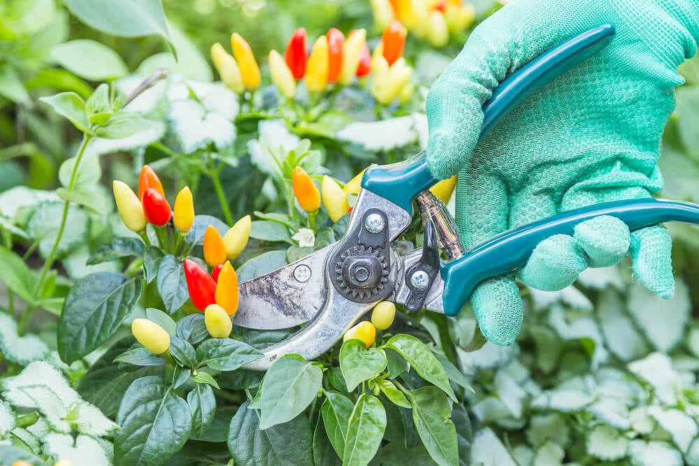 Pruning peppers