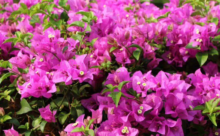 How to grow Bougainvillea?
