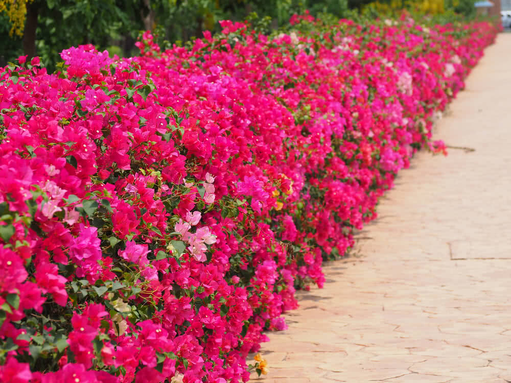 Bougainvillea growing on ground.