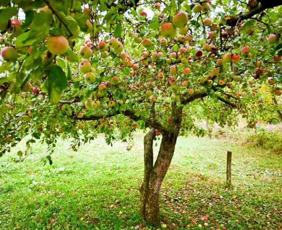 orchard planting guide