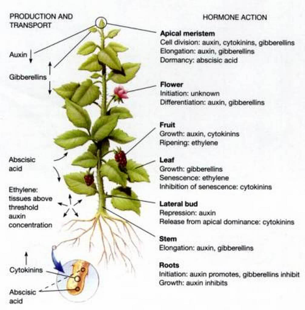 the role of hormones in the growth and development of plants Auxins show some dramatic effects on growth and development of plants  in higher plants, the hormone auxin orchestrates a  the roles of auxin response .