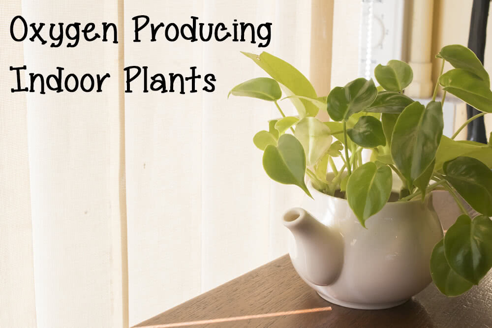 The best oxygen producing house plants air purifier plants for Oxygen plants for home