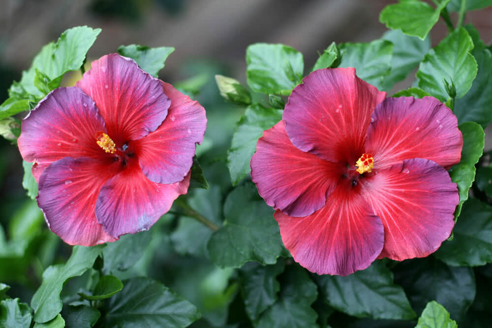 red and violet hibiscus