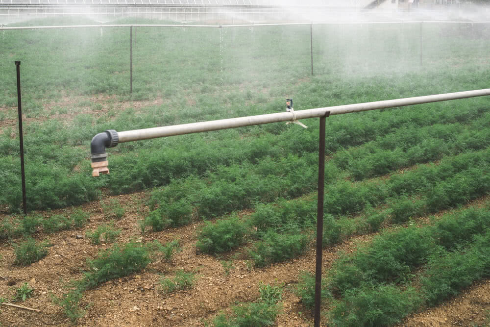 watering dill plants