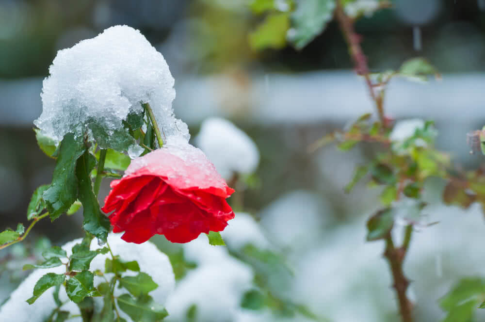 Roses In Garden: Growing Cultivation In India