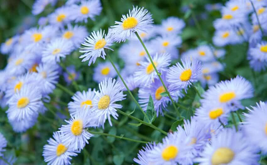 Wild blue color aster flowers