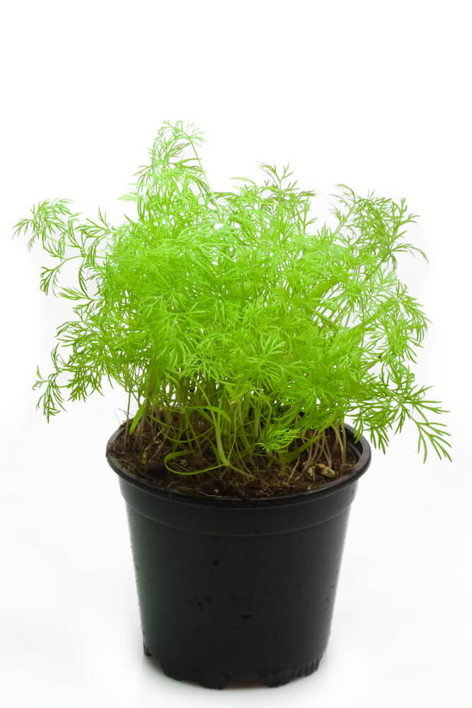Dill plant in a container