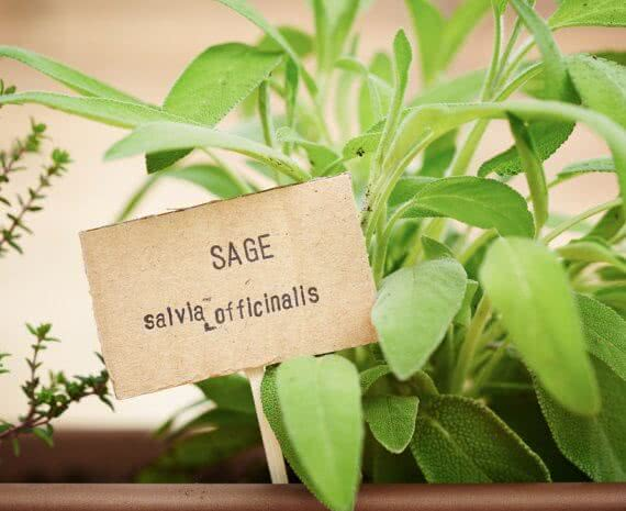 how to plant sage seeds