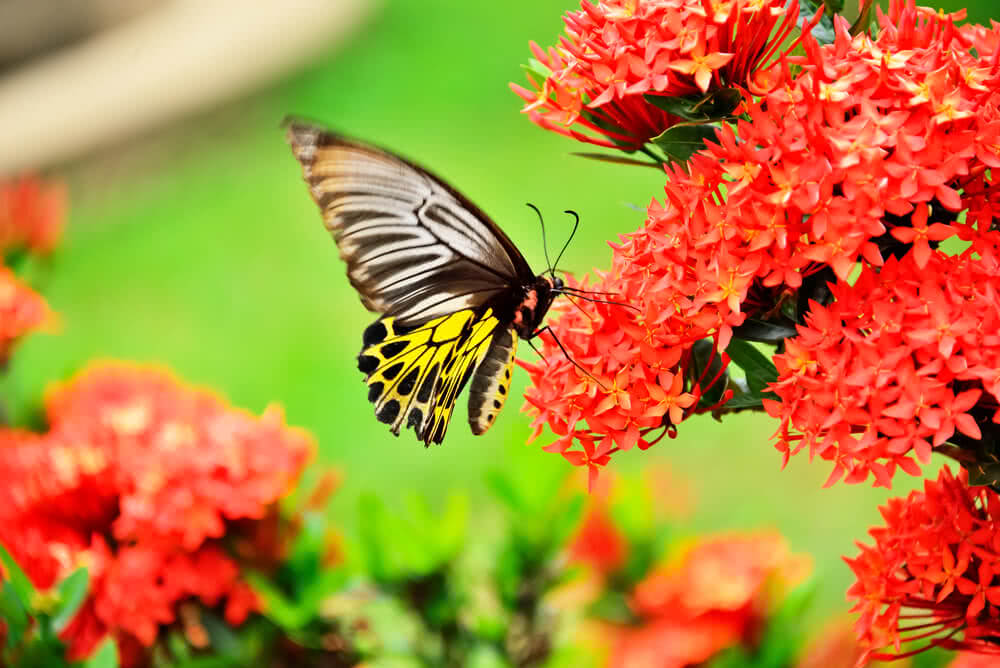 Butterfly nectar plants