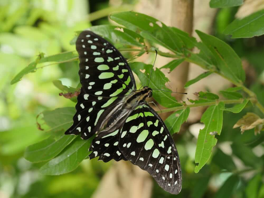 tailed jay butterfly