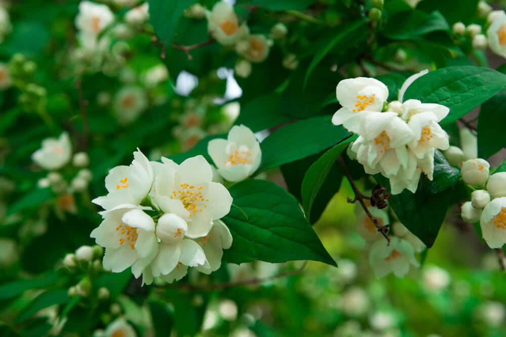 Top 10 Fragrant Flowers In India Scented Flowers