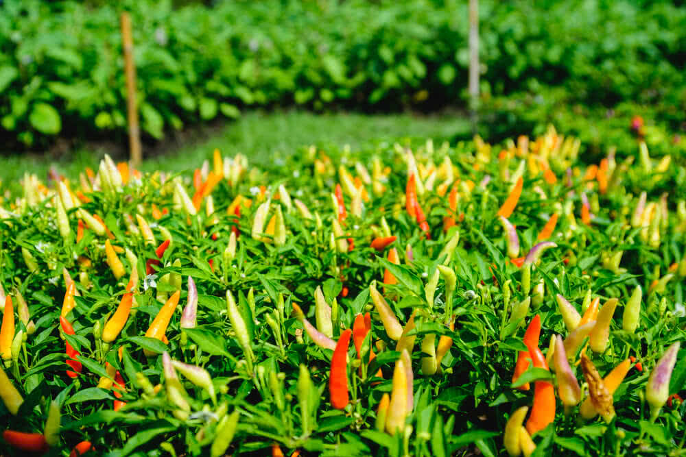 red peppers, green peppers
